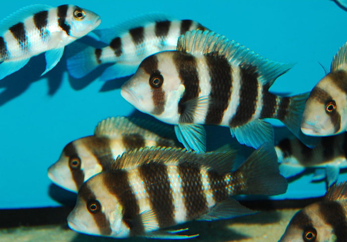 Eurofish - African cichlids, wholesale