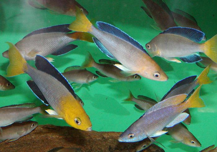 Eurofish - Species of African Cichlids d9bc361bb57